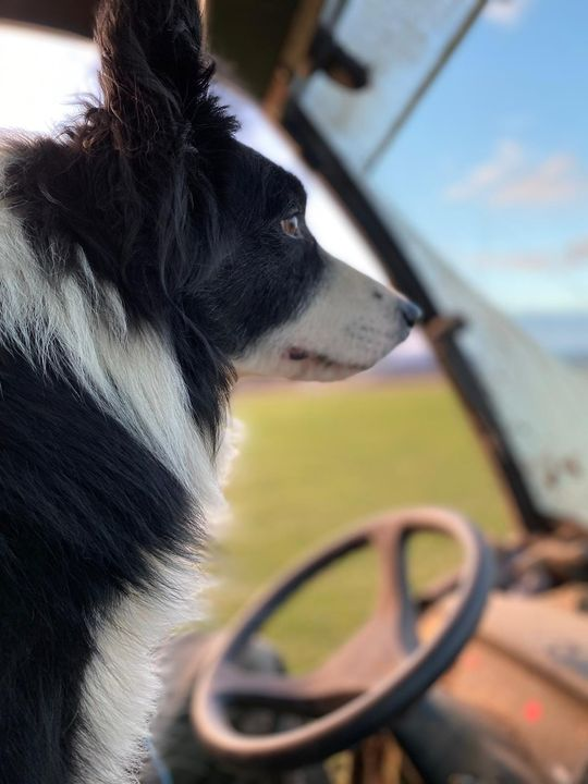 Glen keeping an eye on things this morning on the feed run.
