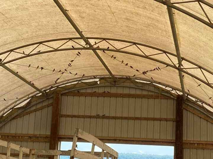 It's a great barn swallow year here at Over the Moon Farm!