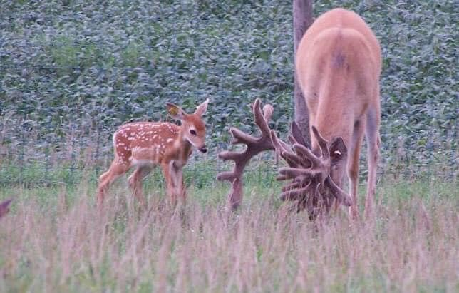 Baby buck at Autumn Wind Whitetails... come visit us.