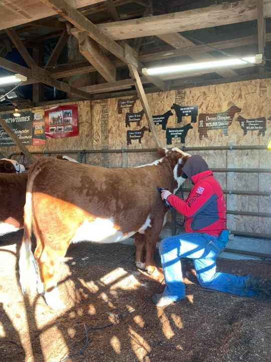Team work at Rogers Herefords!  Hard working young men getting cattle ready for Reno!