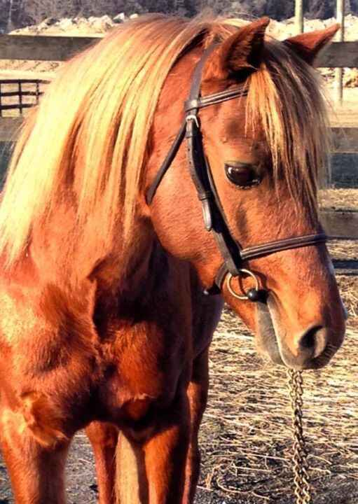 """Patty Davis's stallion """"Little Man"""" is standing at Ann Rockwell's Farm and accepting bookings. Little Man is the sire of..."""